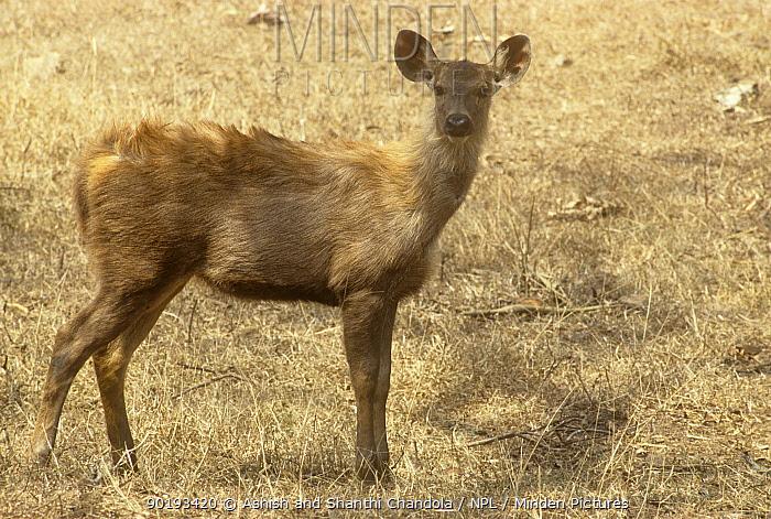 Indian sambar (Cervus unicolor) fawn, Bandipur NP, Karnataka, India  -  Ashish & Shanthi Chandola/ npl