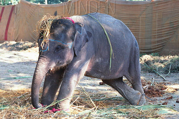 Young Indian elephant (Elephas maximus) for sale at Sonepur fair, Bihar, India  -  Ashish Shanthi Chandola/ npl
