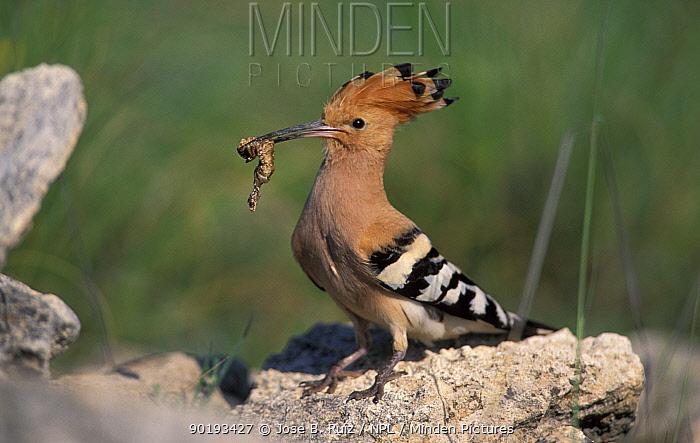 Hoopoe with food in beak (Upupa epops) Spain  -  Jose B. Ruiz/ npl
