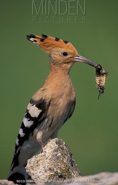 Hoopoe with insect prey in beak, portrait (Upupa epops) Spain  -  Jose B. Ruiz/ npl