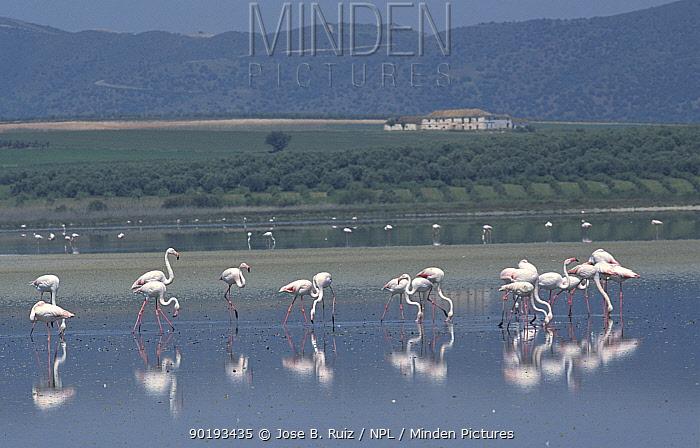 Greater flamingoes feeding (Phoenicopterus ruber) Laguna de Fuentepiedra NP, southern Spain  -  Jose B. Ruiz/ npl