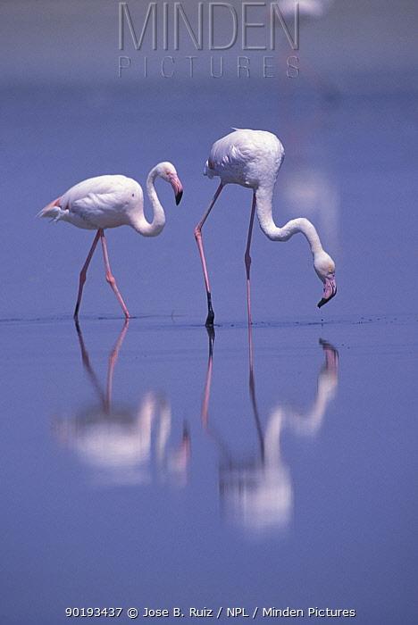 Greater flamingo pair (Phoenicopterus ruber) Laguna de Fuentepiedra NP, Spain  -  Jose B. Ruiz/ npl