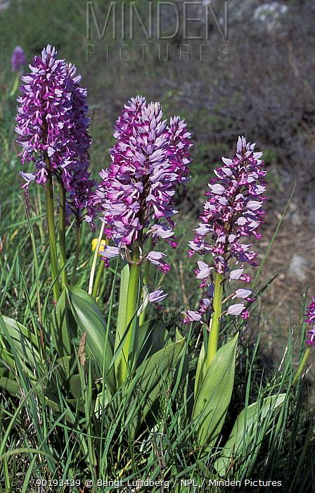Military orchids (Orchis militaris) Oland Is, Sweden  -  Bengt Lundberg/ npl