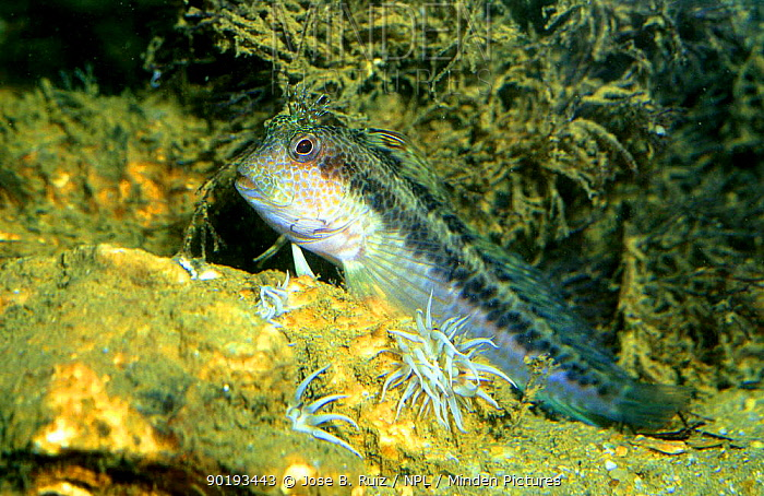 Blenny (Blennius rouxi) Mediterranean Spain Common fish in rocky areas and seagrass prairies  -  Jose B. Ruiz/ npl