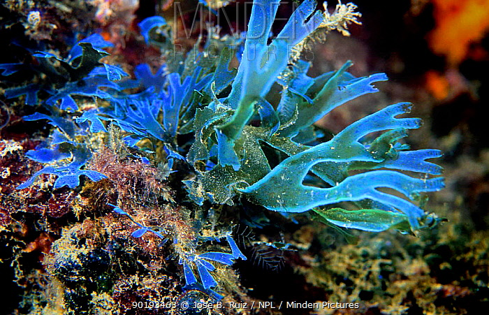 Blue seaweed, close-up (Dyctyota dichotoma) Mediterranean  -  Jose B. Ruiz/ npl