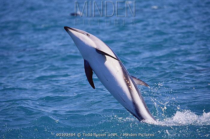 Dusky dolphin tail walking (Lagenorhynchus obscurus), Kaikoura, New Zealand  -  Todd Pusser/ npl