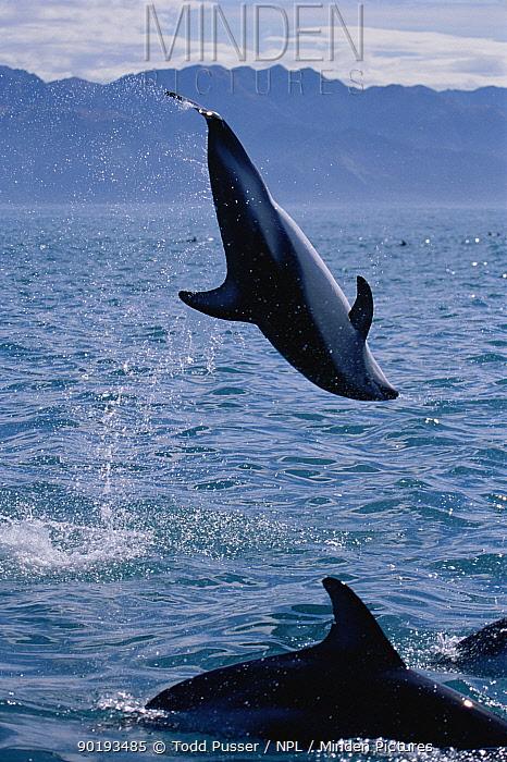 Dusky dolphin doing backflip (Lagenorhynchus obscurus), Kaikoura, New Zealand, Pacific  -  Todd Pusser/ npl