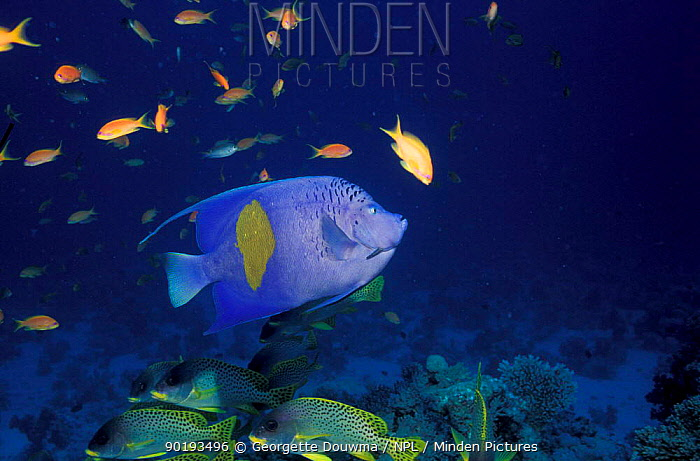 Yellowbar angelfish (Pomacanthus maculosus) Egypt, Red Sea  -  Georgette Douwma/ npl