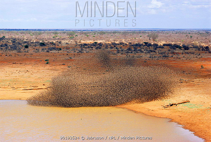 Red billed quelea flock massing to drink on the wing (Quelea quelea) Tsavo East NP, Kenya  -  Jabruson/ npl