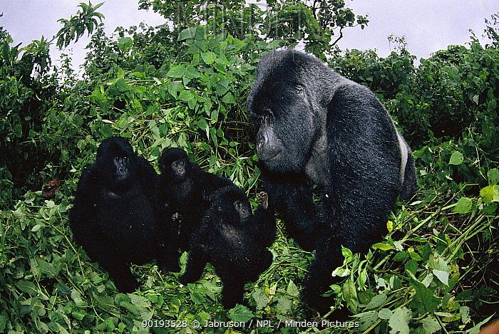 Mountain gorilla family with female, young and silverback (Gorilla gorilla beringei) Note size difference Virunga NP, Dem Rep of Congo  -  Jabruson/ npl