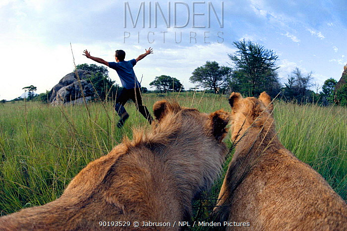 Lions (Panthera leo) hunting man Serengeti NP, Tanzania Set up image  -  Jabruson/ npl