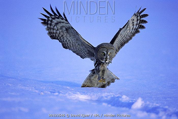 Great grey owl (Strix nebulosa) about to land Oulu, northern Finland, Europe  -  David Kjaer/ npl