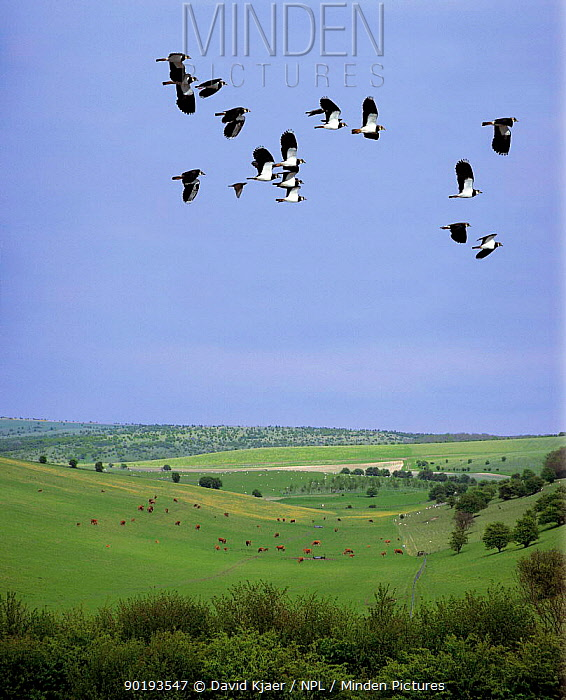 Lapwings (Vanellus vanellus) in flight over Upton Scudymore, Nr Warminster, Salisbury Plain UK Digitally manipulated composite  -  David Kjaer/ npl