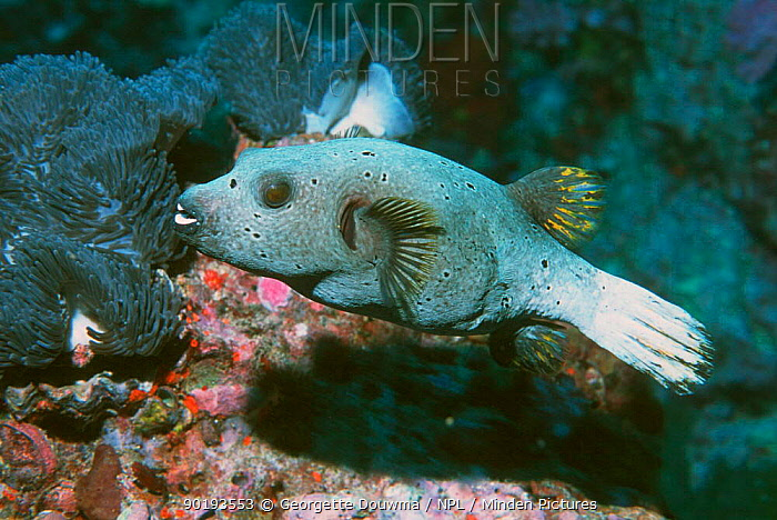 Black spotted puffer fish (Arothron nigropunctatus) toxic Andaman sea, Thailand  -  Georgette Douwma/ npl