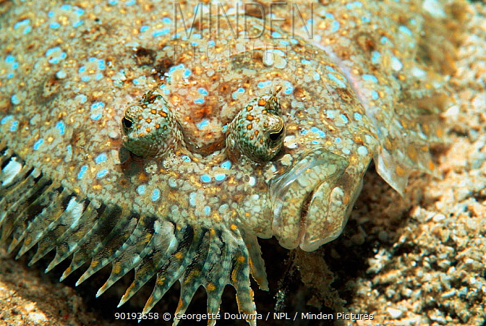 Panther flounder, close-up of face (Bothus pantherinus) Vavau, Tonga, Indo Pacific  -  Georgette Douwma/ npl
