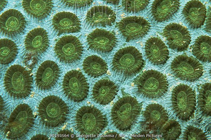Close up of Hard coral (Favia sp) Indonesia, Indo-pacific  -  Georgette Douwma/ npl