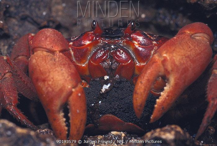 Christmas island red crab female with eggs (Gecarcoidea natalis) Christmas island, Pacific  -  Jurgen Freund/ npl
