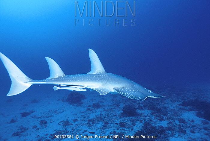 Shovelnose ray (Rhinobatos batillum) Great Barrier Reef, Queensland, Australia  -  Jurgen Freund/ npl