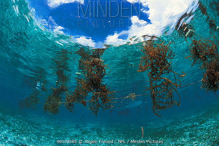 Seaweed farming, Arenas Reef, Philippines  -  Jurgen Freund/ npl
