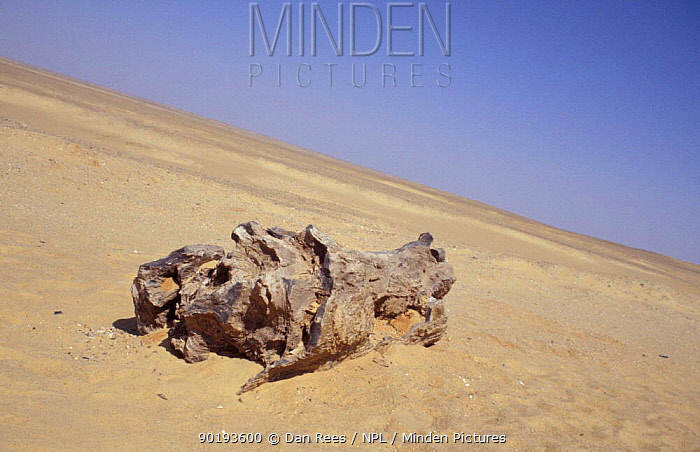 Ancient petrified tree, Sahara desert, Egypt  -  Dan Rees/ npl