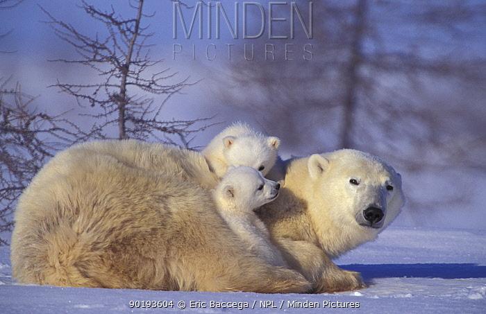 Polar bear with two 3m-old cubs (Ursus maritimus) Churchill, Manitoba, Canada  -  Eric Baccega/ npl