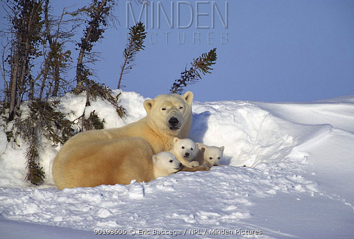 Polar bear resting with three 3 month old cubs (Ursus maritimus) Churchill, Manitoba, Canada  -  Eric Baccega/ npl