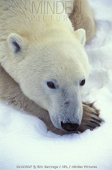 Polar bear portrait (Ursus maritimus) Churchill, Manitoba, Canada  -  Eric Baccega/ npl