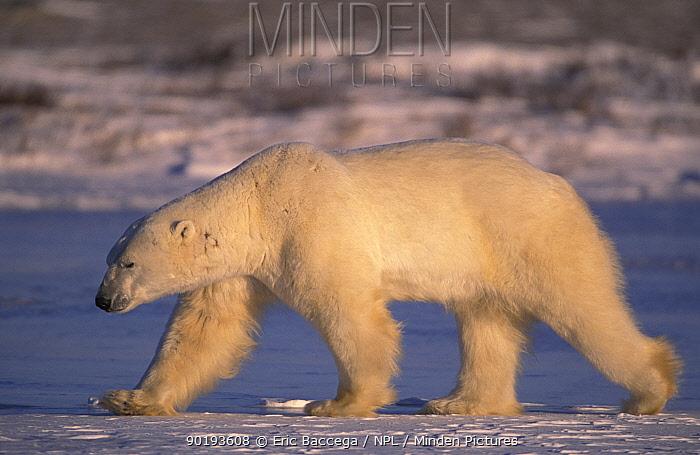 Polar bear walking (Ursus maritimus) Churchill, Manitoba, Canada  -  Eric Baccega/ npl