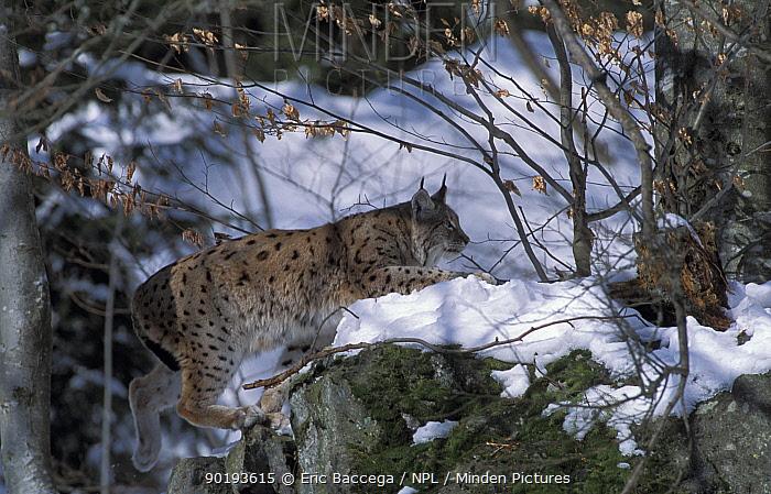 Lynx female in woodland (Lynx lynx) captive, Bayerisherwald Park, Germany  -  Eric Baccega/ npl