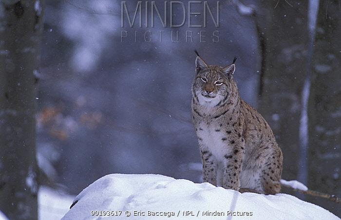 Lynx female portrait in snow (Lynx lynx) Bayerisherwald Park, Germany  -  Eric Baccega/ npl