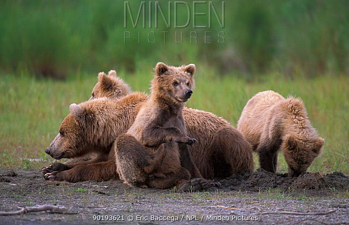 Grizzly bear with cubs at river (Ursus arctos horribilis) Brooks river, Alaska, USA  -  Eric Baccega/ npl