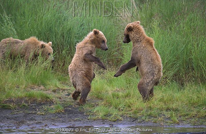 Grizzly bear cubs playing (Ursus arctos horribilis) Brooks river, Alaska, USA  -  Eric Baccega/ npl