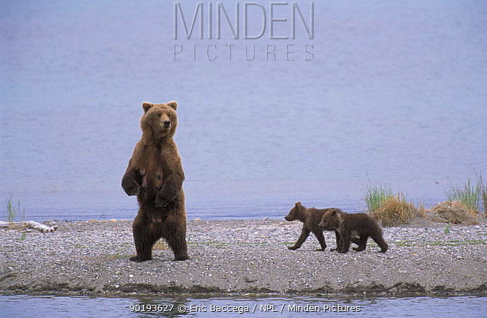 Grizzly bear mother on look out with small cubs (Ursus arctos horribilis) Brooks river,  -  Eric Baccega/ npl