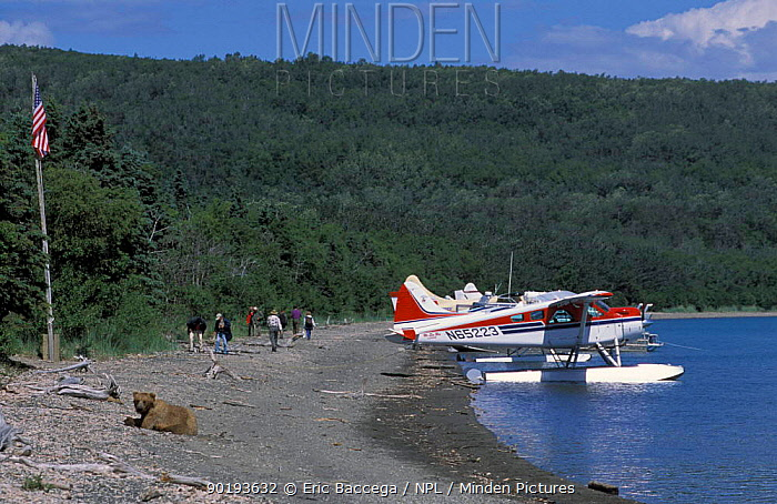 Grizzly bears with sea plane and people (Ursus arctos horribilis) Brooks river,  -  Eric Baccega/ npl