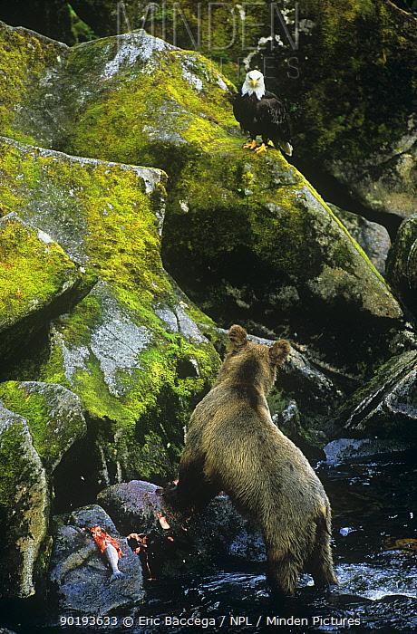 American bald eagle (Haliaeetus leucocephalus) watching Grizzly bear (Ursus arctos horribilis) feeding on fish, Brooks river, Alaska, USA  -  Eric Baccega/ npl