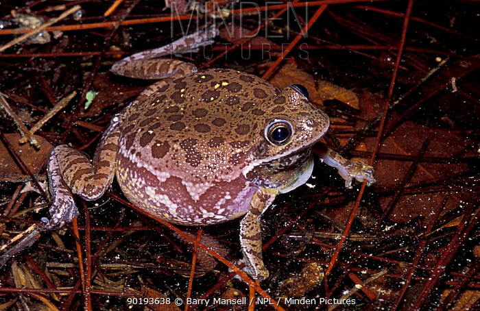 Barking tree frog, turns brown in pond (Hyla gratiosa) Florida, USA  -  Barry Mansell/ npl