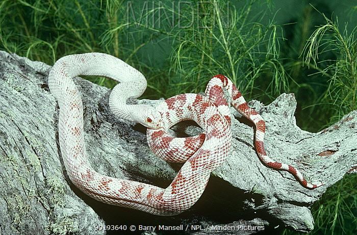 Albino Southern pinesnake (Pituophis melanoleucus mugitus) Florida, USA  -  Barry Mansell/ npl