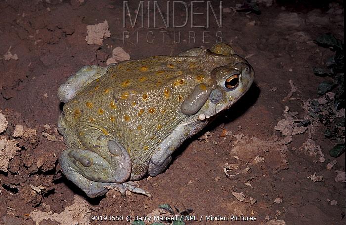 Sonoran desert toad (Bufo alvarius) Arizona, USA  -  Barry Mansell/ npl