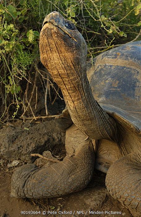 Galapagos Giant tortoise (Geochelone elephantopus) Santa Cruz, Galapagos Is  -  Pete Oxford/ npl