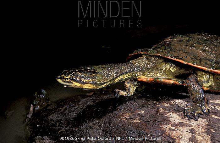 Side necked terrapin (Pleurodira) Piaui State, Brazil  -  Pete Oxford/ npl