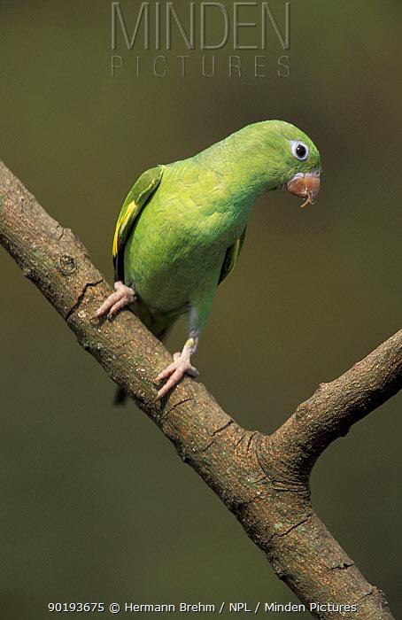 Yellow chevroned parakeet (Brotogeris chiriri) Pantanal, Brazil  -  Hermann Brehm/ npl