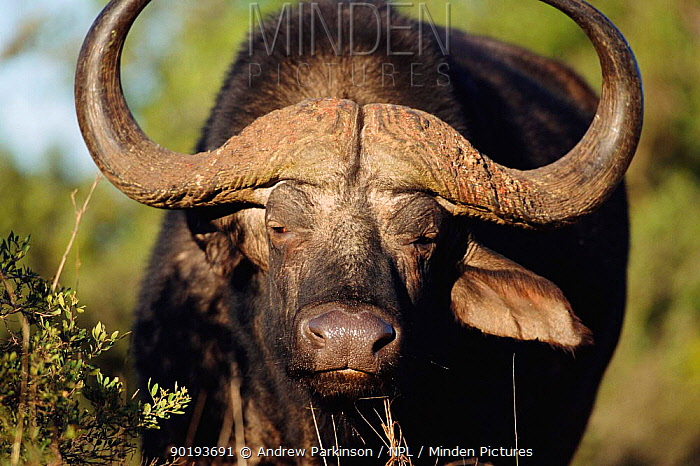 Cape buffalo male (Syncerus caffer caffer) Addo Elephant NP, South Africa  -  Andrew Parkinson/ npl