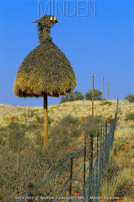 Sociable weaver nest on telegraph pole (Philetairus socius) South Africa  -  Andrew Parkinson/ npl