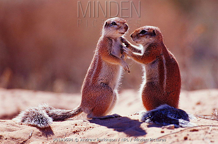 Cape ground squirrels interacting (Xerus inauris) Kgalagadi TFP, South Africa  -  Andrew Parkinson/ npl