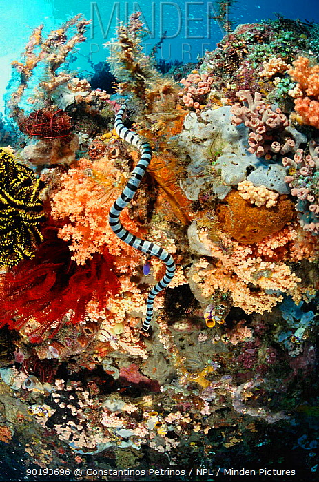 Banded sea krait (Laticauda colubrina) Sulawesi Indonesia prized for skin in Philippines, leather snakeskin industry  -  Constantinos Petrinos/ npl