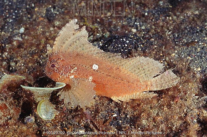 Cockatoo waspfish (Ablabys taenianothus) Sulawesi Indonesia Indo Pacific  -  Constantinos Petrinos/ npl