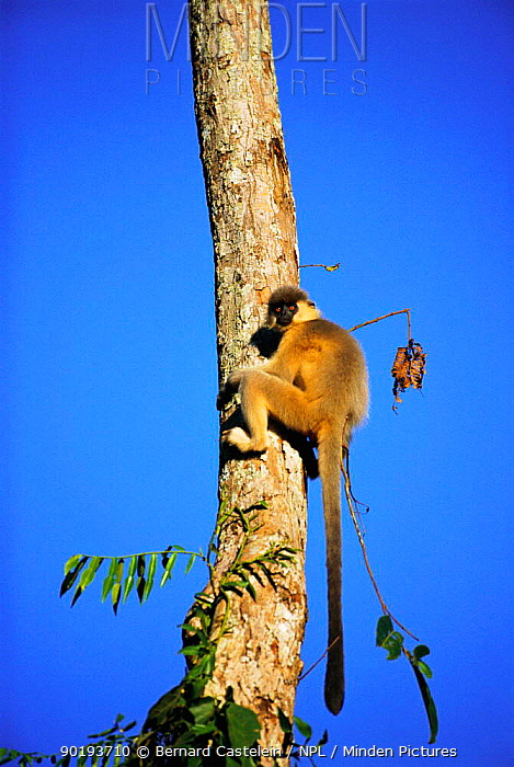 Capped langur climbing tree (Presbytis pileata) Manas NP, Assam, India  -  Bernard Castelein/ npl