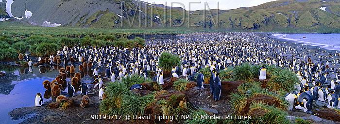 King penguin colony (Aptenodytes patagoni) adults and chicks, South Georgia  -  David Tipling/ npl