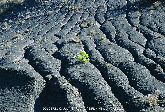 Pine tree seedling on black marl, Baronnies, France  -  Jean E. Roche/ npl