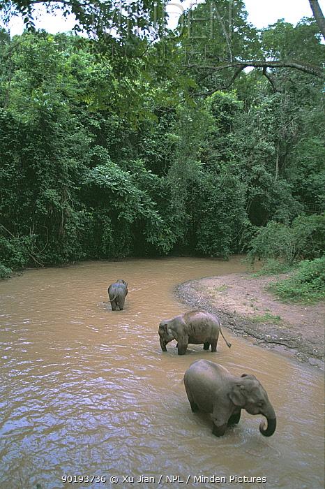 Asian elephants drinking in river (Elephas maximus) Yunnan, China  -  Xu Jiang/ npl